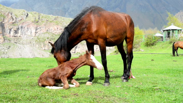 Newborn foal Just born foal tries to stand on his feet with a little help of his mother. Foal is still all wet and bloody, so the mare is licking him. Mare still has the umbilical cord hanging out. animal family stock videos & royalty-free footage