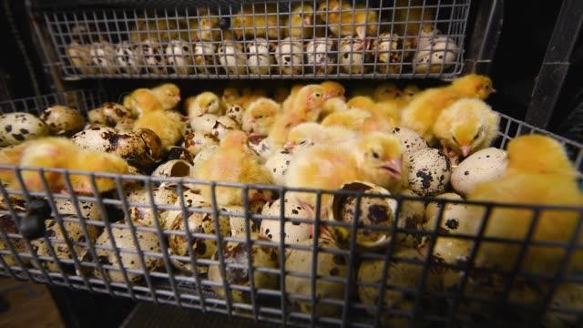 新生児孵化ウズラの雛は、保育器でクローズアップ - 動物の身体各部点の映像素材/bロール