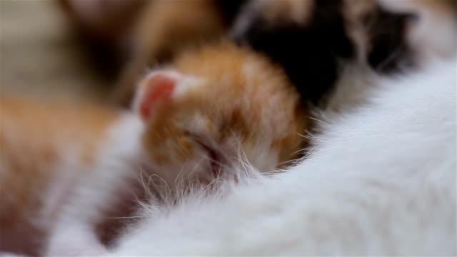 Newborn kitten are drinking mother's milk. video
