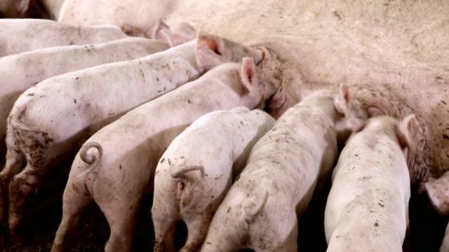 vídeos y material grabado en eventos de stock de lechones recién nacidos que se alimentan de cerdo nodriza en granja ecológica - animal joven
