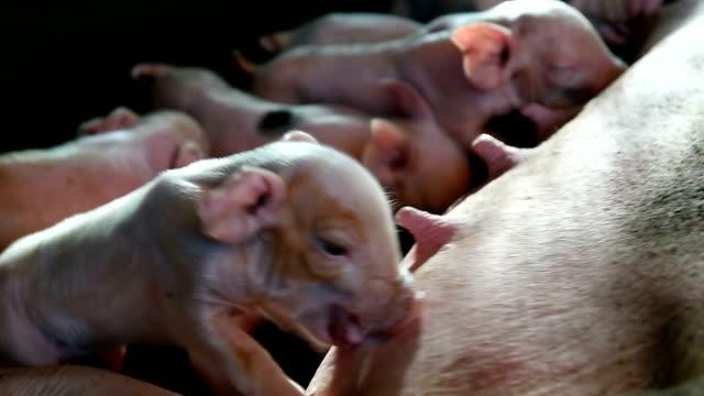 Newborn piglets suckling video