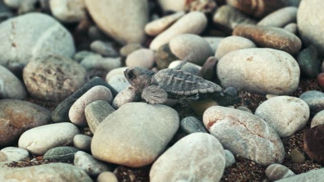 newborn turtle crawl on large stones to sea. baby turtle walking towards ocean - молодое животное стоковые видео и кадры b-roll
