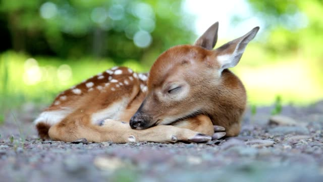 Newborn White-Tailed Deer Fawn, Sleeping, 2 Video clips video