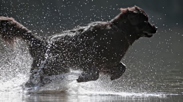 SLO MO TS Newfoundland dog running across water