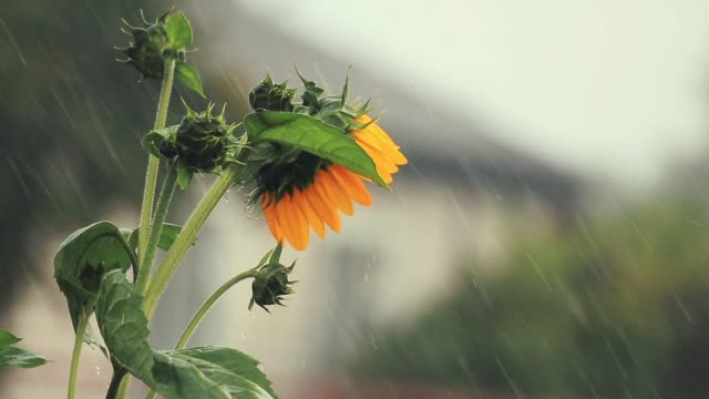 Nice beautiful amazing yellow fresh sunflower during a heavy shower rain with a breeze. Shallow depth of the field, slow motion toned video, 50fps. video