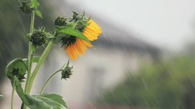 Nice beautiful amazing yellow fresh sunflower during a heavy shower rain with a breeze. Shallow depth of the field, toned video, 50fps. video