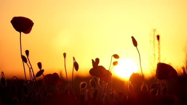 vídeos y material grabado en eventos de stock de bonitas amapolas rojas que crecen en un campo sin límites en ucrania al atardecer dorado - amapola planta