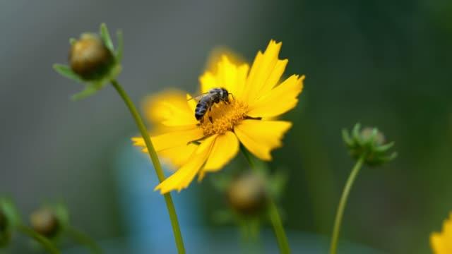 nice summer flowers. - coreopsis lanceolata video stock e b–roll
