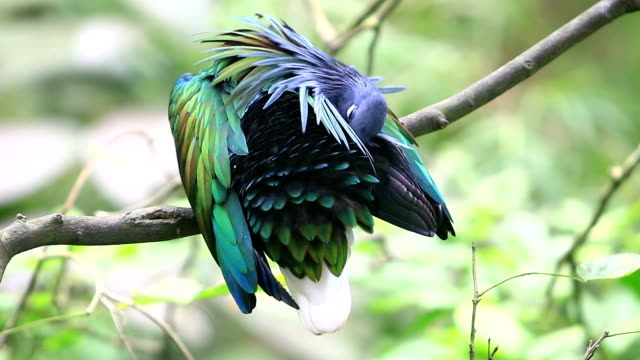 Nicobar pigeon, Nicobar dove video