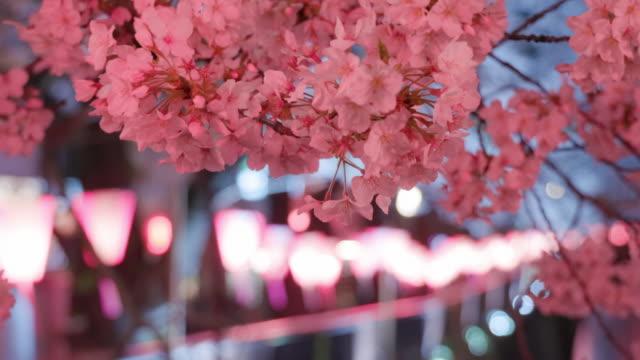 vídeos de stock, filmes e b-roll de flores de cereja da noite na flor cheia no vento - cerejeira árvore frutífera