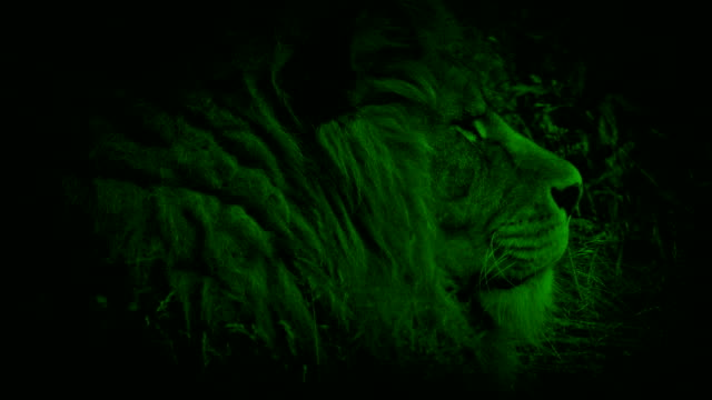 Nightvision Lion In The Grass