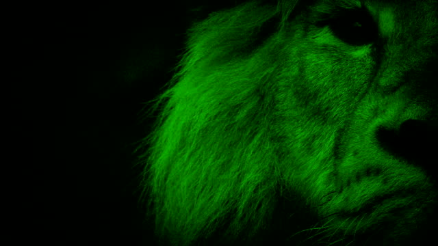 Nightvision Lion Looks Up At Camera
