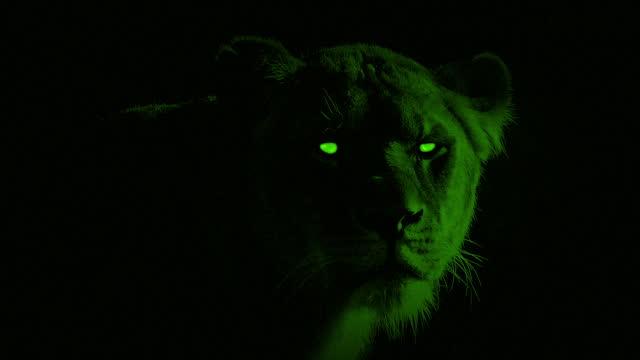 vídeos de stock, filmes e b-roll de leoa nightvision com olhos brilhantes - felino