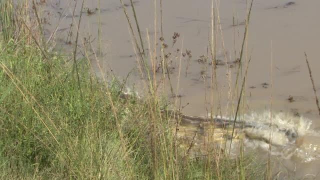 Nile Crocodile video