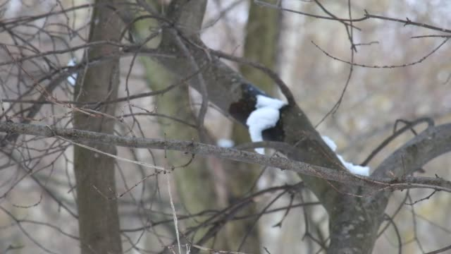Nimble tits jumping in the winter on bare branches of a tree (Parus major) video