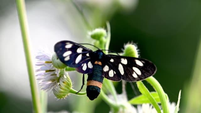 nine-spotted moth on white flowers - skrzydło zwierzęcia filmów i materiałów b-roll