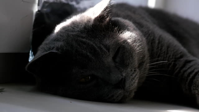 Noble proud cat lying on window sill. The British Shorthair with blue gray fur video