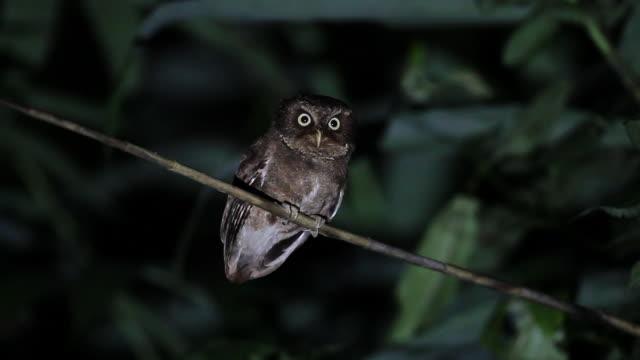 stockvideo's en b-roll-footage met nachtelijke vogel: volwassen berg dwergooruil uil (otus spilocephalus) - uil