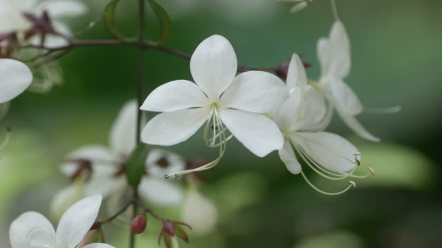 nodding clerodendron flowers shaking with wind - stame video stock e b–roll