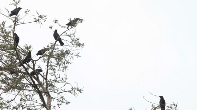 noisy crows with copy space - уход за поверхностью тела у животных стоковые видео и кадры b-roll
