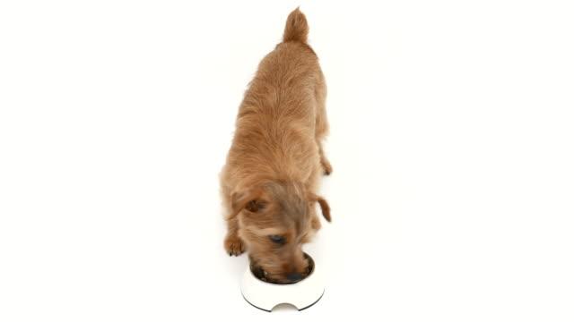 Norfolk Terrier dog eating food 4K video