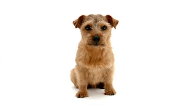 Norfolk Terrier dog Norfolk Terrier dog against white background terrier stock videos & royalty-free footage