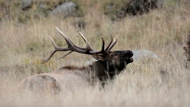 North American elk video
