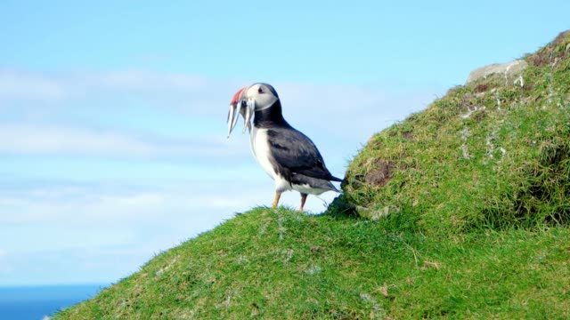 North Atlantic puffins with a catch at Faroe island Mykines