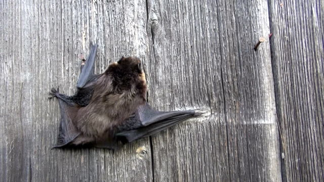 Northen bat Eptesicus nilssonii crawling on wooden wall video