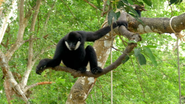 norra svart kinder gibbon hänger på en gren - gibbon människoapa bildbanksvideor och videomaterial från bakom kulisserna