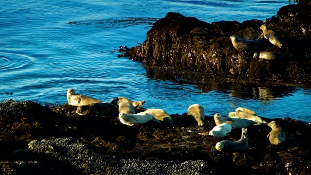 Northern California Seals video