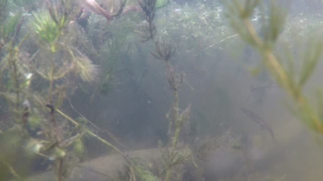 Northern Crested Newt in a forest lake. A Newt swims in a forest lake seen in an underwater view. amphibian stock videos & royalty-free footage
