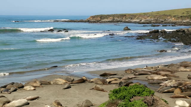 Northern Elephant seal colony video