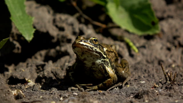 Northern Frog A Columbia Spotted frog sits on the bank of a small stream. frog stock videos & royalty-free footage