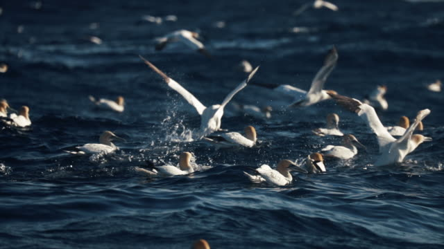 northern gannet bird: dive bomb feeding frenzy behavior - uccello acquatico video stock e b–roll