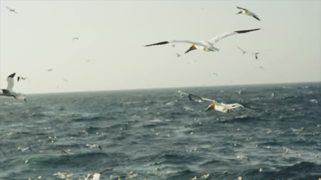 Northern gannet bird: feeding frenzy behavior Northern gannet bird: feeding frenzy behavior. The birds stand nearby a fishing net and dive continuously to steal fish. sea life stock videos & royalty-free footage