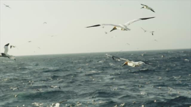 Northern gannet bird: feeding frenzy behavior