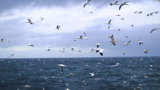 Northern gannet bird: feeding frenzy behavior video