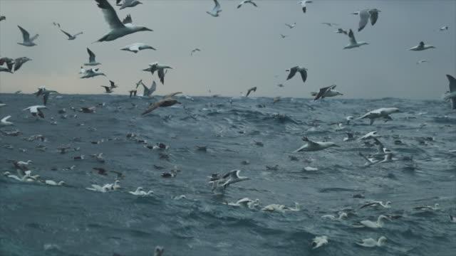Northern gannet bird: feeding frenzy behavior video