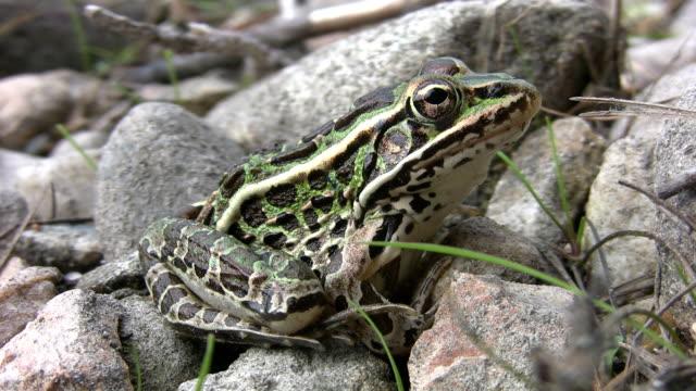 Northern leopard frog. video