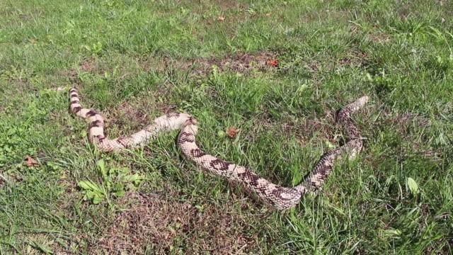 Northern pine Snake crawling
