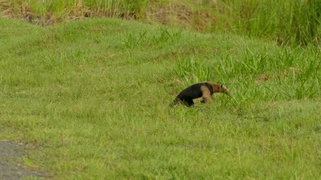 nördliches tamandua-kreuzungsfeld in der entfernung niedrig am boden - ameisenbär stock-videos und b-roll-filmmaterial