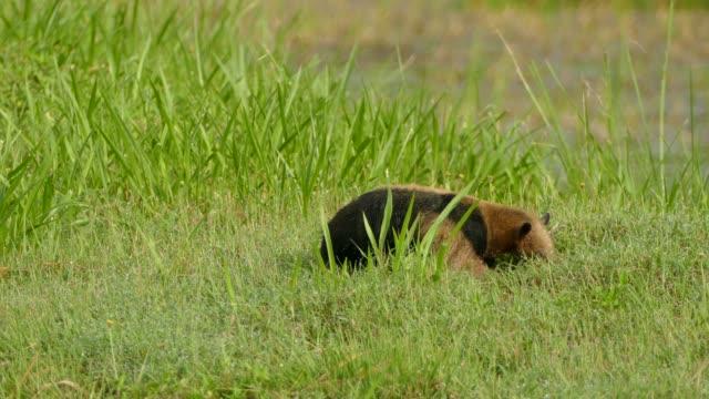 nördliche tamandua foraging durch gras beim vorrücken und kratzen - ameisenbär stock-videos und b-roll-filmmaterial