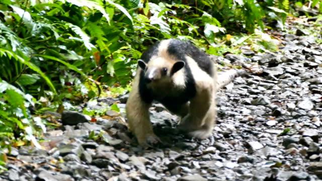 northern antilles (antilles mexicana) zu fuß langsam in die kamera - ameisenbär stock-videos und b-roll-filmmaterial