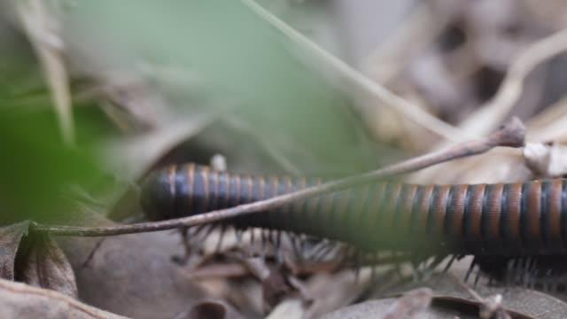 stockvideo's en b-roll-footage met noordwest duizendpoot, of haraphe haydeniana, is overvloedig in de bossen van de pacific northwest. - {{asset.href}}