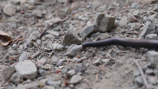 Northwest  millipede, or Haraphe haydeniana, is abundant in Pacific Northwest forests.