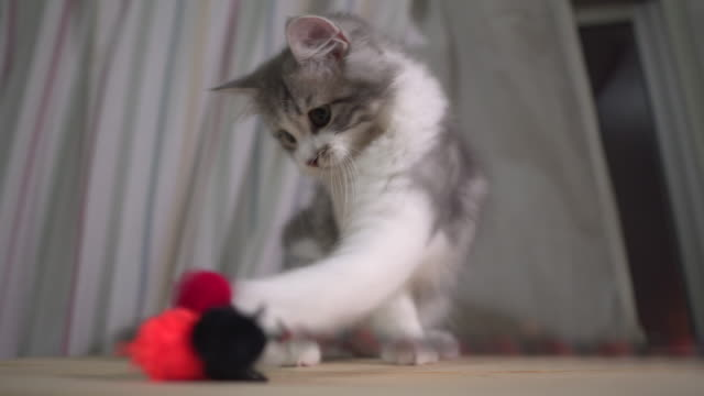 norwegian forest kitten playing wool ball - kot filmów i materiałów b-roll