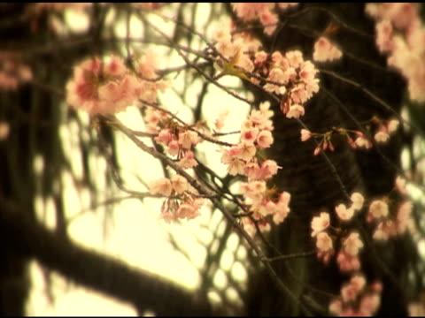 nostalgy 桜 - 郷愁点の映像素材/bロール