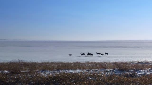 notsuke yarımadası, hokkaido, japonya. - benekli geyik stok videoları ve detay görüntü çekimi