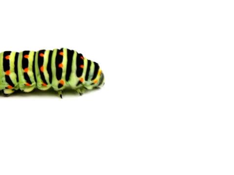 NTSC:Swallowtail caterpillar isolated on white. video
